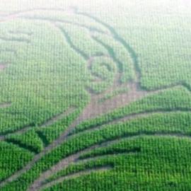 Labirynt z kukurydzy w Kurozwękach 19 lipca 2014